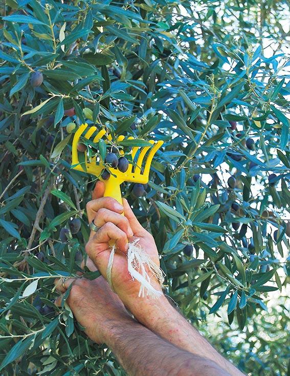 Olivenrechen
